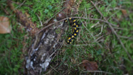 Stock Video Footage of The bright yellow and black spotted Salamander, tilt shift