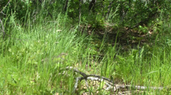 Dusky grouse (blue grouse) female hiding in grass, wide view Stock Footage