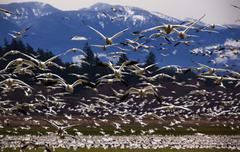 thousands of snow geese flying directly at you - stock photo