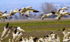 snow geese flying landing joining flock skagit county washington - stock photo