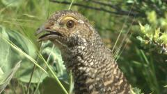 Dusky grouse (blue grouse) female head close up Stock Footage