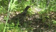 Stock Video Footage of Dusky grouse (blue grouse) female clucking
