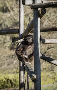 Monkey Sitting on Wooden Post Stock Photos