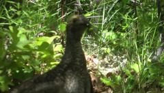 Dusky grouse (blue grouse) female clucking and flapping - stock footage