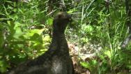 Stock Video Footage of Dusky grouse (blue grouse) female clucking and flapping