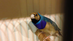 Beautiful Gouldian Finch Stock Footage