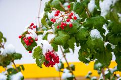 First snow and arrowwood red Stock Photos