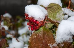 first snow and arrowwood red - stock photo