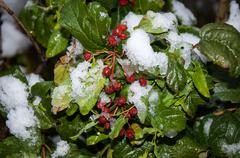 Stock Photo of first snow and arrowwood red