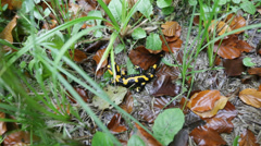Salamander in the grass, tilt shift lens - stock footage