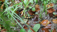 Stock Video Footage of Salamander in the grass, tilt shift lens