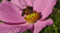 Bee in work on Pink Summer Flower 2 Stock Footage