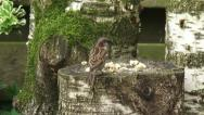 Stock Video Footage of House sparrow, Passer domesticus feeding on bread crumbs on log