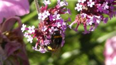 Stock Video Footage of Bee in work on Pink Summer Flower 5