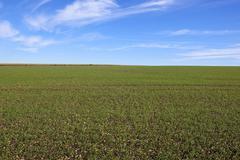 Young wheat crop Stock Photos