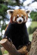 Red Panda Stock Photos