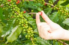 Close up red berries coffee beans on agriculturist hand Stock Photos