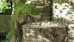Prunella modularis, Dunnock feeding on bread crumbs on log Stock Footage
