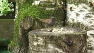 Stock Video Footage of Prunella modularis, Dunnock feeding on bread crumbs on log