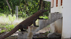 Curious Komodo Dragon Climbing Stairs to House Stock Footage