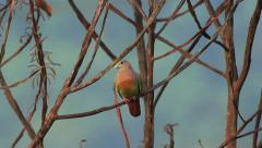 Pink Necked Green Pigeon 1 Stock Footage