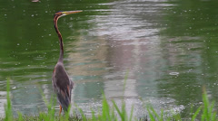Purple Heron (Ardea purpurea) - stock footage