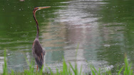 Stock Video Footage of Purple Heron (Ardea purpurea)
