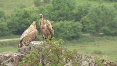 Birds Griffon Vultures perched on a rock Stock Footage