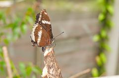 White admiral (limenitis camilla) Stock Photos