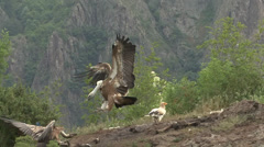Griffon Vultures and Egyptian vulture eating carcass Stock Footage