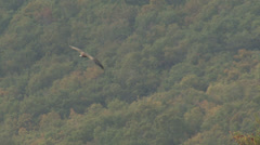 Flying Griffon Vulture over the mountain green forest hills Stock Footage