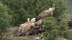 Birds Griffon Vultures eating carcass in the mountain Stock Footage