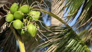 Stock Video Footage of Coconut tree