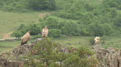 Birds Griffon and Egyptian Vultures eating carcass in the mountain Stock Footage