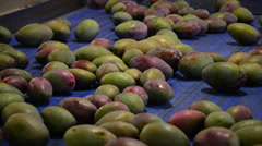 Mangoes fruit in a pack line, close up Stock Footage