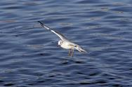 Stock Photo of flying gull