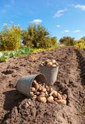 Fresh and raw potato at the field Stock Photos