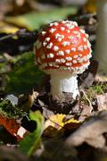 amanita muscaria or fly agaric - stock photo
