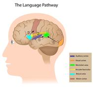 cortical language control - stock illustration