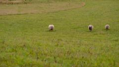 Panning time lapse of grazing sheep Stock Footage