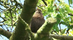Blackbird in tree, alarm call - low angle Stock Footage