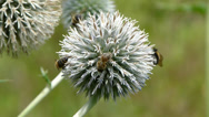 Stock Video Footage of Honey bees and bumblebee collecting nectar form echinops (Globe thistle)