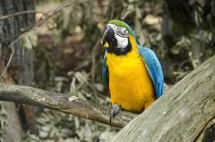 blue and yellow macaw, ara ararauna - stock photo