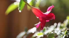 Flower in wet garden moves out of focus Stock Footage