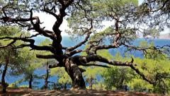 Old strong mountain tree - stock footage