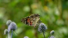 Butterfly. Painted Lady. Vanessa cardui. Collecting nectar. Stock Footage
