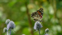 Butterfly. Painted Lady. Vanessa cardui. Collecting nectar. 2 Stock Footage