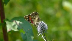 Butterfly. Painted Lady. Vanessa cardui. Collecting nectar. 3 Stock Footage