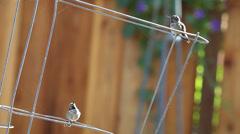 Hummingbirds show display behavior Stock Footage