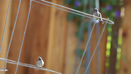Stock Video Footage of hummingbirds show display behavior